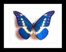 Framed Butterfly Art - Morpho Rhetenor Helena Black Frame