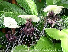 Fledermausblume 6 Samen * TACCA NIVEA* Bat Plant*Teufelspflanze