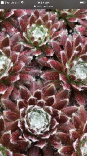 Cosmic Candy Chick Charm Sempervivum Hen And  Chick Plant sZone 3 To 9 Ready