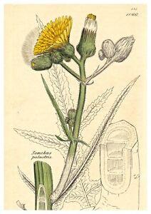 Blumen-Blueten-Kraeuter-Sumpf-Gaensedistel-Altkolorierter-Kupferstich-1801