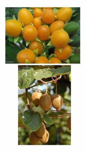 la deliziosa velluto color pesca e la vitamina ricchi grande kiwi! Semi-Set di frutta