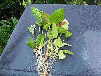 lot de 5 echinodorus racinee tres rare  plante aquarium promo made in france +