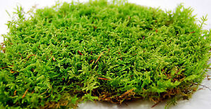 Image Is Loading Live Moss Low Carpet For Terrarium Vivarium Frogs