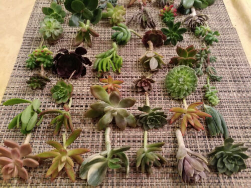 20 DIFFERENT VARIETALS 25 SUCCULENT CUTTINGS GREAT FOR WEDDING PARTY FAVORS!