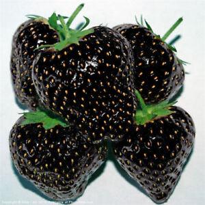 Black-Strawberry-Fruit-100PCs-Seeds-Bonsai-Plants-Home-Garden-climbing-Bloom-Pot