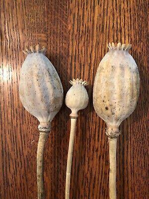 Biggest Pods of Any Somniferum Poppy w// INSTRUCTIONS Giant Mammoth Poppy Seed