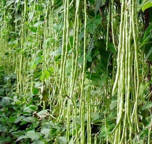 30 Vert Yard Long Bean Seeds-Asperges-Serpent Bean ONU rampe METRO légumes