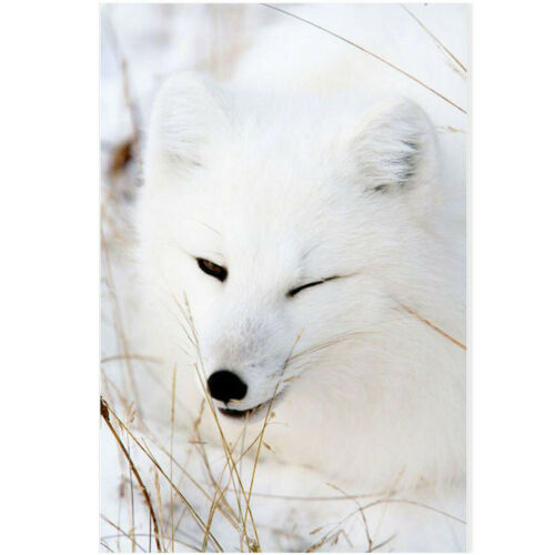 White Wink Fox Winter Canvas Painting Poster Living Room Bedroom Home Art Decor