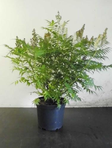 "Sibirische Fiederspiere Sorbaria sorbifolia /""Sem/""® 60-80 cm"