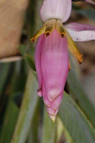 Frische Samen Musa Ornata Blühend Banane
