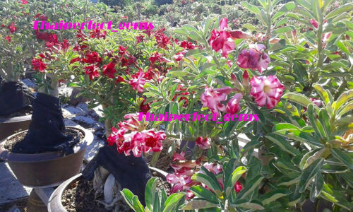 "ADENIUM OBESUM DESERT ROSE /""6662/"" Fresh 100 Seeds NEW!"