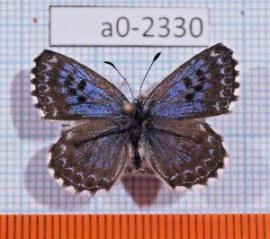 a0-2330 Scolitantides orion 1m Lycaenidae, Russia S.Siberia