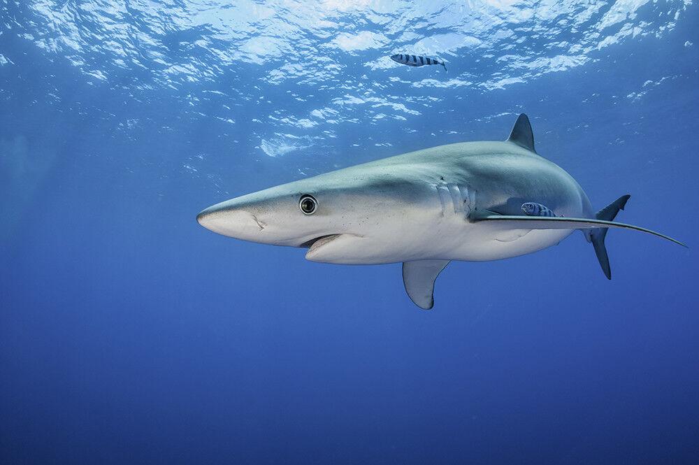 Fototapete Haifisch Hai Meer - Kleistertapete oder Selbstklebende Tapete