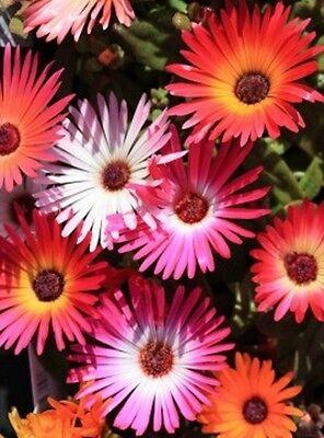 Delosperma Mischung, 40 Samen, Mittagsblume, Ice Plant, Steingarten, Bodendecker