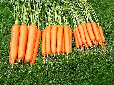 Vegetable - Carrot - Sweet Candle F1 - 200 Seeds