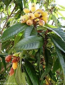 Eriobotrya-japonica-Japanische-Wollmispel-Loquat-Nispero-50-Samen