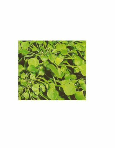 Winterpostelein Winterportulak Tellerkraut Claytonia perfoliata Kuba Spinat