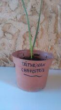 jeune trithrinax campestris 2 feuilles