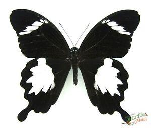Golondrina-Mariposa-Negro-Blanco-Papilio-Nephelus-A1-SET-x1-Macho-Muestra