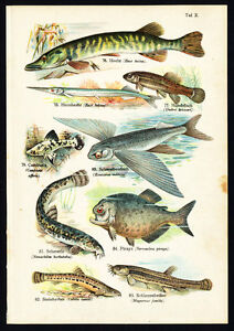 Antique-Print-PIKE-NEEDLEFISH-PIRANHA-FLYING-FISH-Schleyer-1890