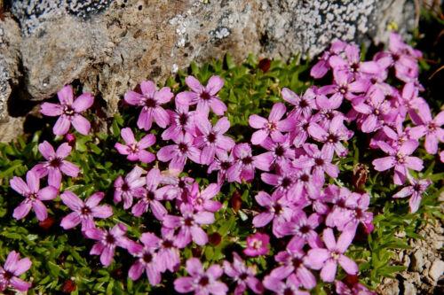 Bergphlox 2.000 Samen Linanthus Grandiflorus Berg Phlox