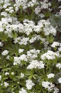 Garten-Pflanzen-Samen-winterharte-Zierpflanze-Saatgut-Kraeuter-WALDMEISER