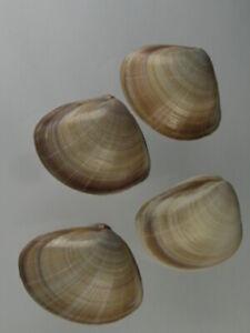 Mactra-stultorum-Nice-set-from-Atlantic-Spain