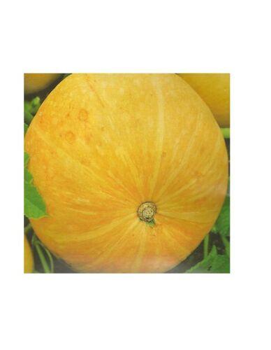 Kürbis Gele Reuzen Riesenmelonen Samen Saatgut Saat Gärtnerqualität Speisekürbis