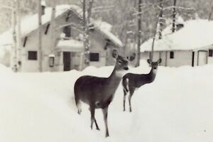 Vintage-Two-Deer-Snow-Cabins-Golden-British-Columbia-Unposted-Post-Card-H065