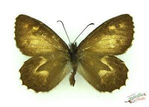 Azzorre-Grayling-Farfalla-Set-x1-Hipparchia-Azorina-Maschio-Esemplare-Portugal