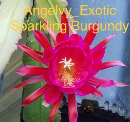 epiphyllum sparkling burgundy Cutting 10/'/' for each stem
