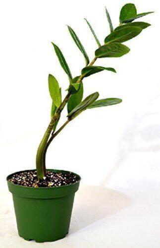 "Plant Zamioculcas Zamiifolia 4/""Pot Houseplant By Kenya Green Leaves Bonsai Gift"