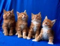 Beautiful Maine Coon Kitten Cats Kittens For Rehoming Gatineau Kijiji