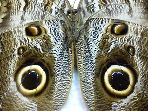 Real Butterfly/Insect/Moth Set/Spread B4182  Caligo placidianus  11 cm