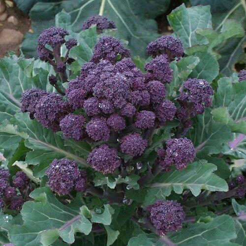 Bulk Non-Gmo Rare Fun! Broccoli Purple Sprouting 300-16,000 Seeds Cold Hardy