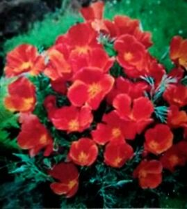 Details about Red Chief California Poppy, 250 Seed  Perpetual Summer  Color🔥CabinFeverTraders