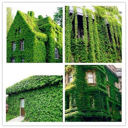 20pcs//bag ivy japanese Creeper Green Grass Seed Anti-radiation ultraviolet ray b