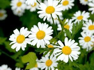3000 Graines de fleurs Camomille Matricaire Méthode BIO seeds plantes aromatique