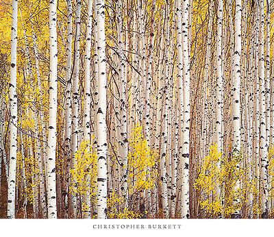 ASPEN GROVE COLORADO ART PRINT BY CHRISTOPHER BURKETT yellow tree leaves poster