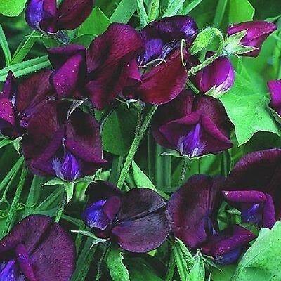 10 BLACK KNIGHT SWEET PEA Lathyrus Odoratus Vine Flower Seeds + Gift & Comb S/H