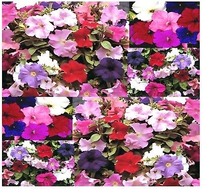 BULK Supercascade Series Mix PETUNIA SEED SEEDS  -  RED WHITE BLUE PINK & OTHERS