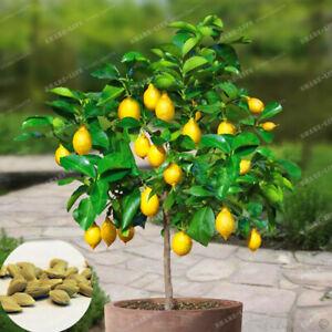 10Pcs-Seeds-Lemon-Fruit-Tree-Rare-Exotic-Edible-Kinds-Bonsai-Plants-in-Garden