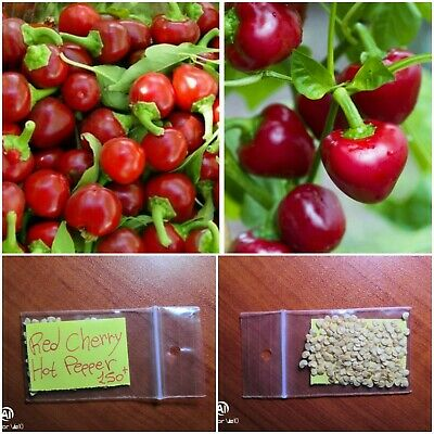 EXTRA RARE Long Hot Red Hot Pepper /'/'Elephant Trunk/'/' ~15 Top Quality Seeds