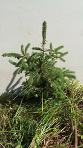 "NORWAY SPRUCE TREES 18""-24"" Fresh dug hardy Transpslant Wind Privacy Fast growth"