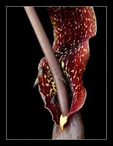 RARE-3-graines-de-PLANTE-LEZARD-Sauromatum-Venosum-H280-VOODOO-LILY-SEEDS-SAMEN