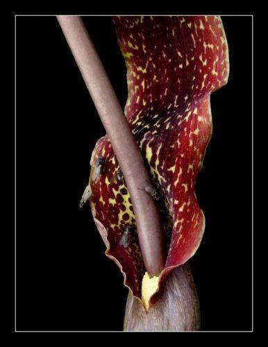 H280 VOODOO LILY SEEDS SAMEN Sauromatum Venosum RARE 3 graines de PLANTE LEZARD