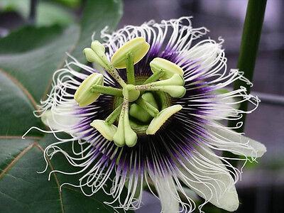 20 Seeds - Passionfruit - Passiflora edulis