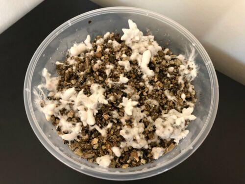 Mushroom Growing Kit IN TUB King Oyster or Shiitake