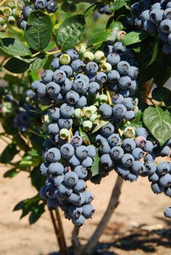 Highbush Mix Perennial Fruit 145mg *Super Sweet n Huge* BLUEBERRY SEEDS 300