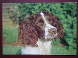 POSTCARD ANIMALS CLOSE OF OF SPANIEL DOG - Tadley, United Kingdom - POSTCARD ANIMALS CLOSE OF OF SPANIEL DOG - Tadley, United Kingdom